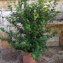 myrtus_communis_offerta_piante_mediterranee
