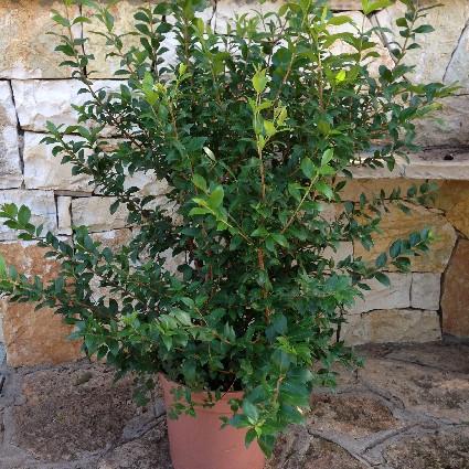 Myrtus communis mirto comune vaso 24 offerta for Pianta mirto