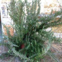 rosmarinus_prostratus_offerta_piante_mediterranee