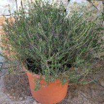 thymus_capitatus_offerta_piante_mediterranee